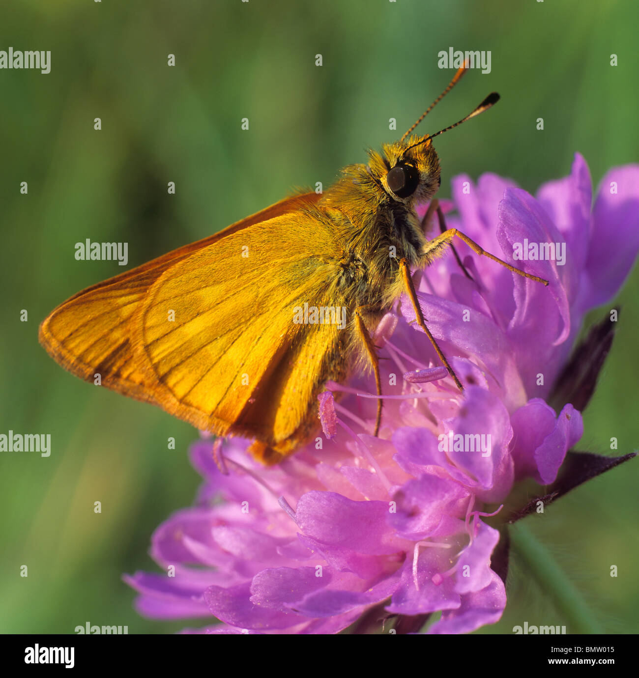 Small Skipper (Thymelicus sylvestris, Thymelicus flavus), butterfly on a flower. - Stock Image