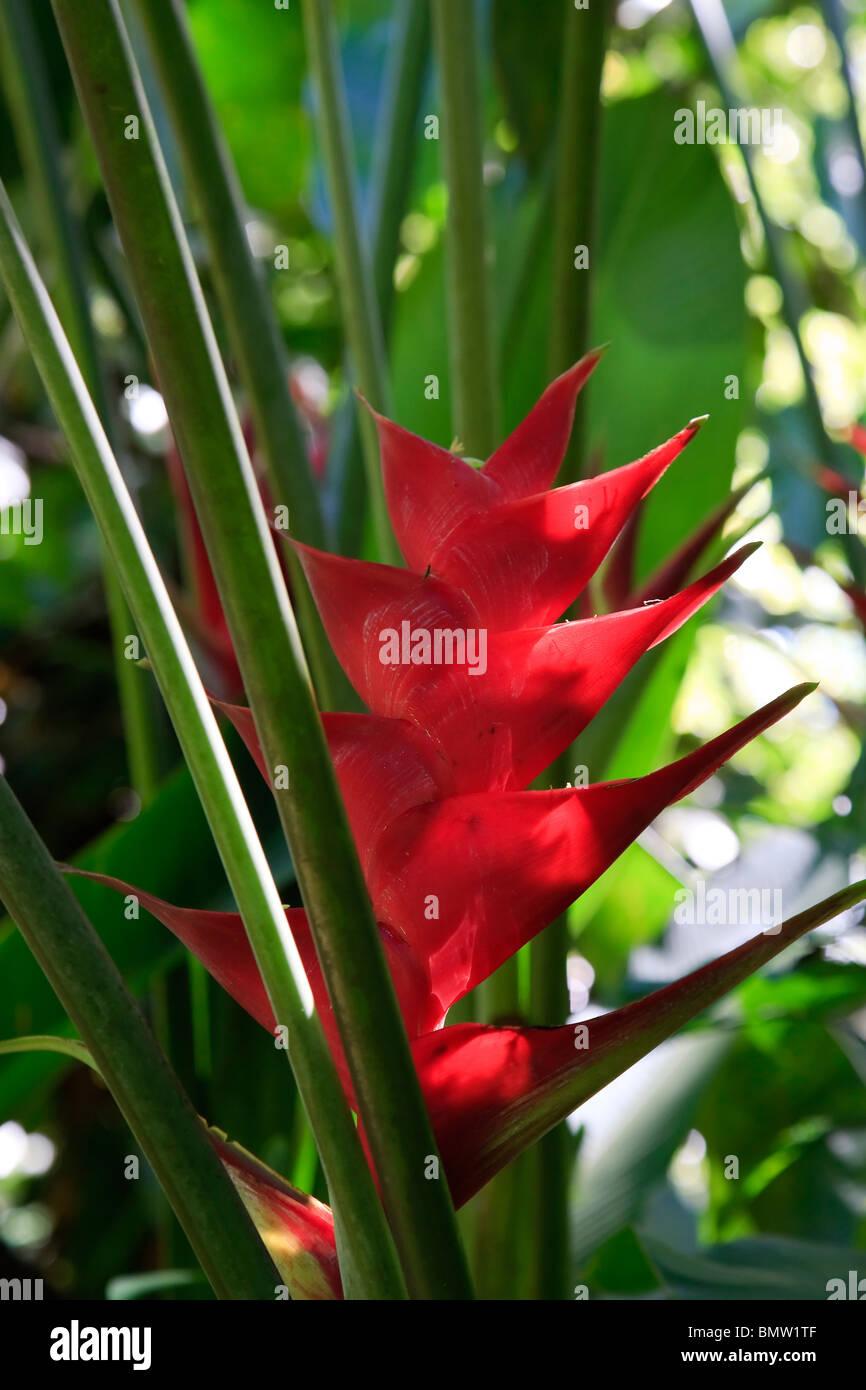 Caribbean, St Lucia, Diamond Botanical Gardens, Heliconia Flower (Heliconia Caribaea) - Stock Image