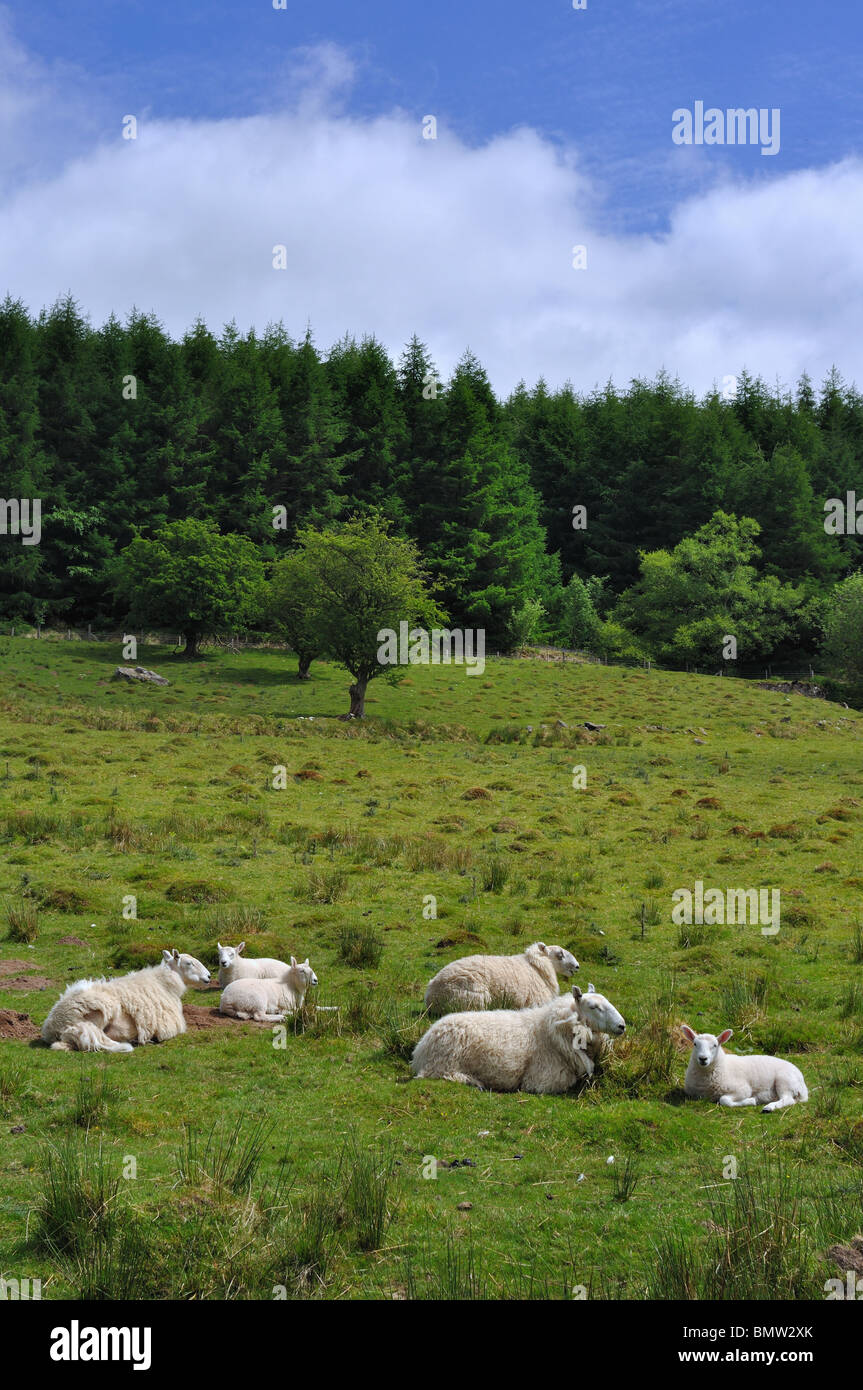 Ewes & Lambs in spring in the Taf Fechan Forest , Brecon Beacons National Park South wales - Stock Image