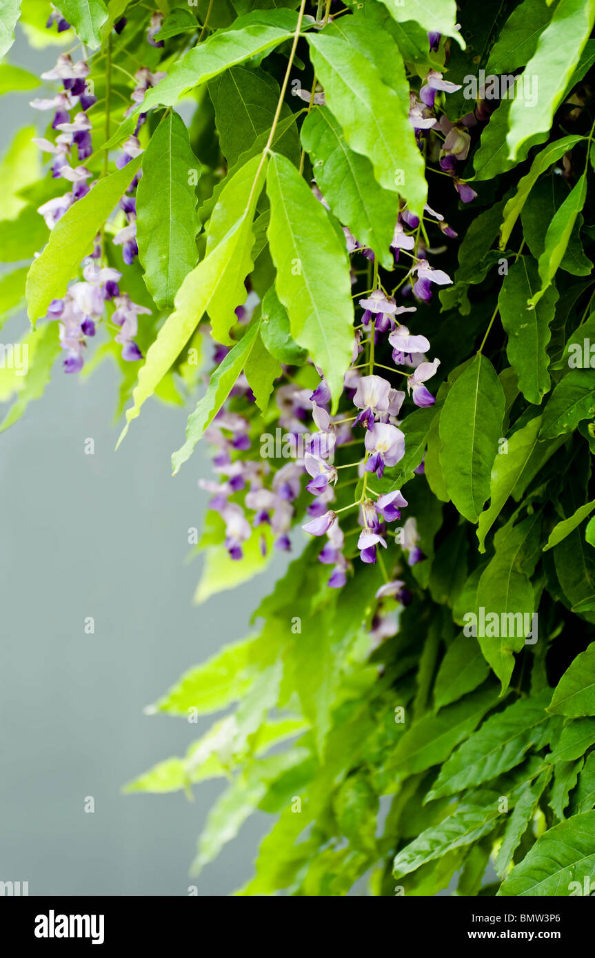 Purple Flowering Wisteria With Leaves Whilst Flowering