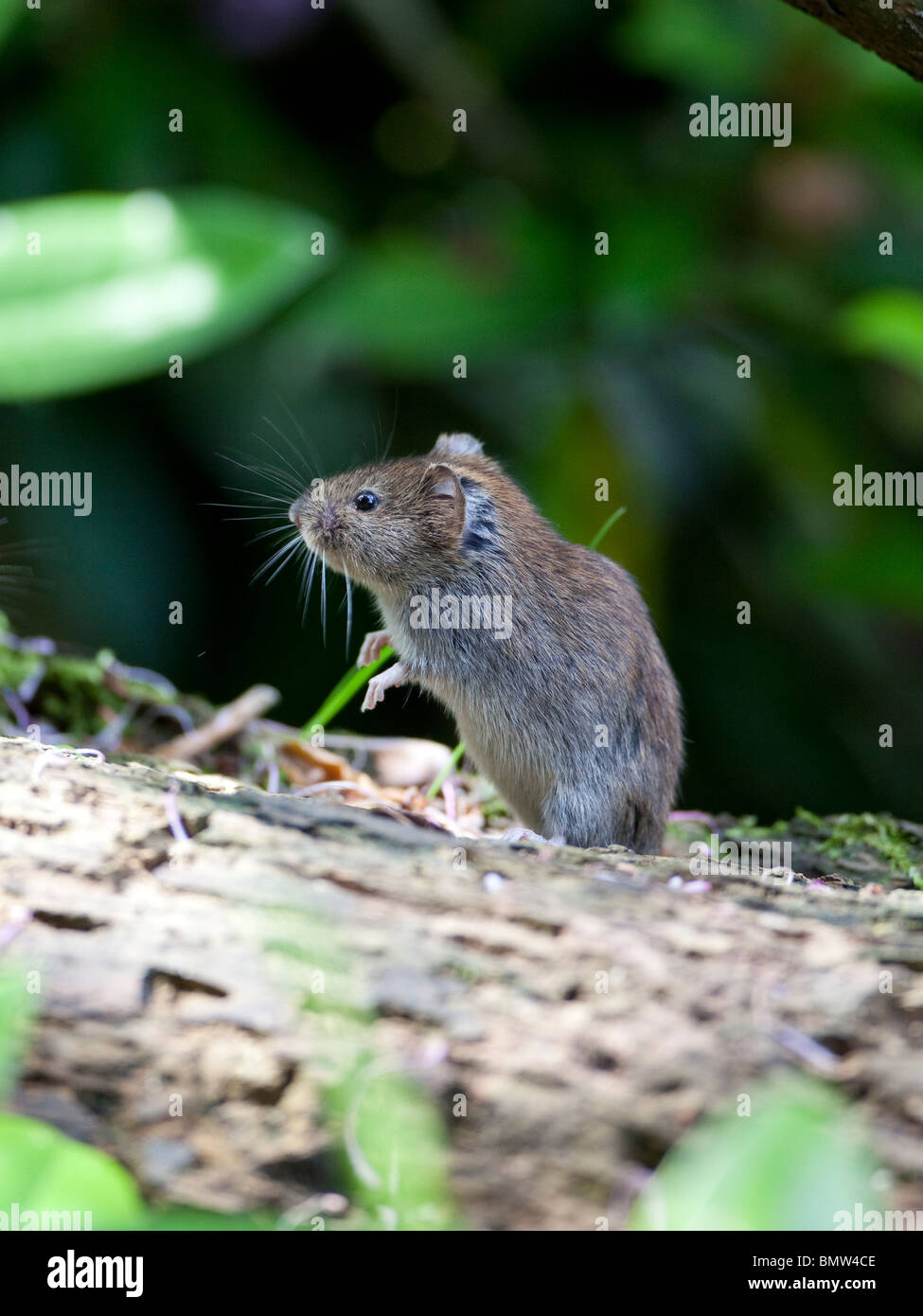 A small bank vole (Myodes glareolus ) ventures out into the sun to feed on a rotting log and collect a store of - Stock Image