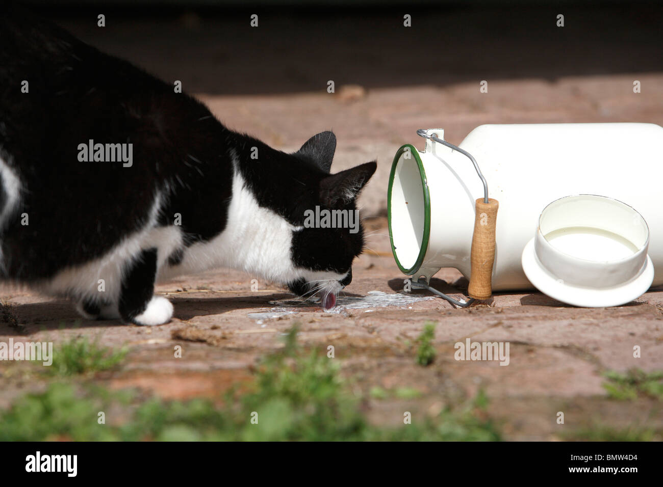 domestic cat, house cat, European Shorthair (Felis silvestris f. catus), licking milk from a toppled mik-can, Germany - Stock Image