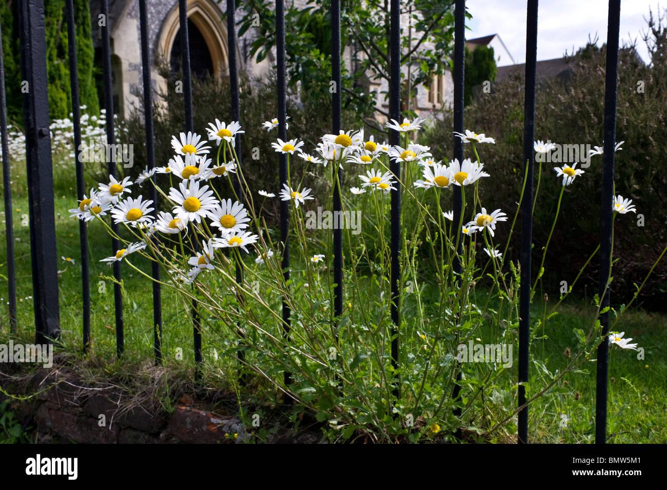Oxeye daisies, UK wildflowers in grass around iron railings surrounding parish church grounds Stock Photo