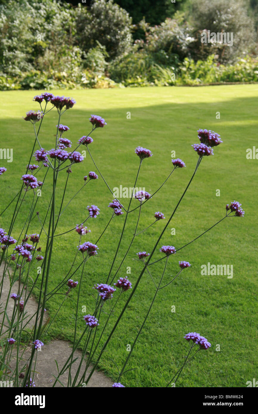 Verbena bonariensis a tall flower with small purple flowers it verbena bonariensis a tall flower with small purple flowers it towers above low growing plants with a light and airy feel mightylinksfo