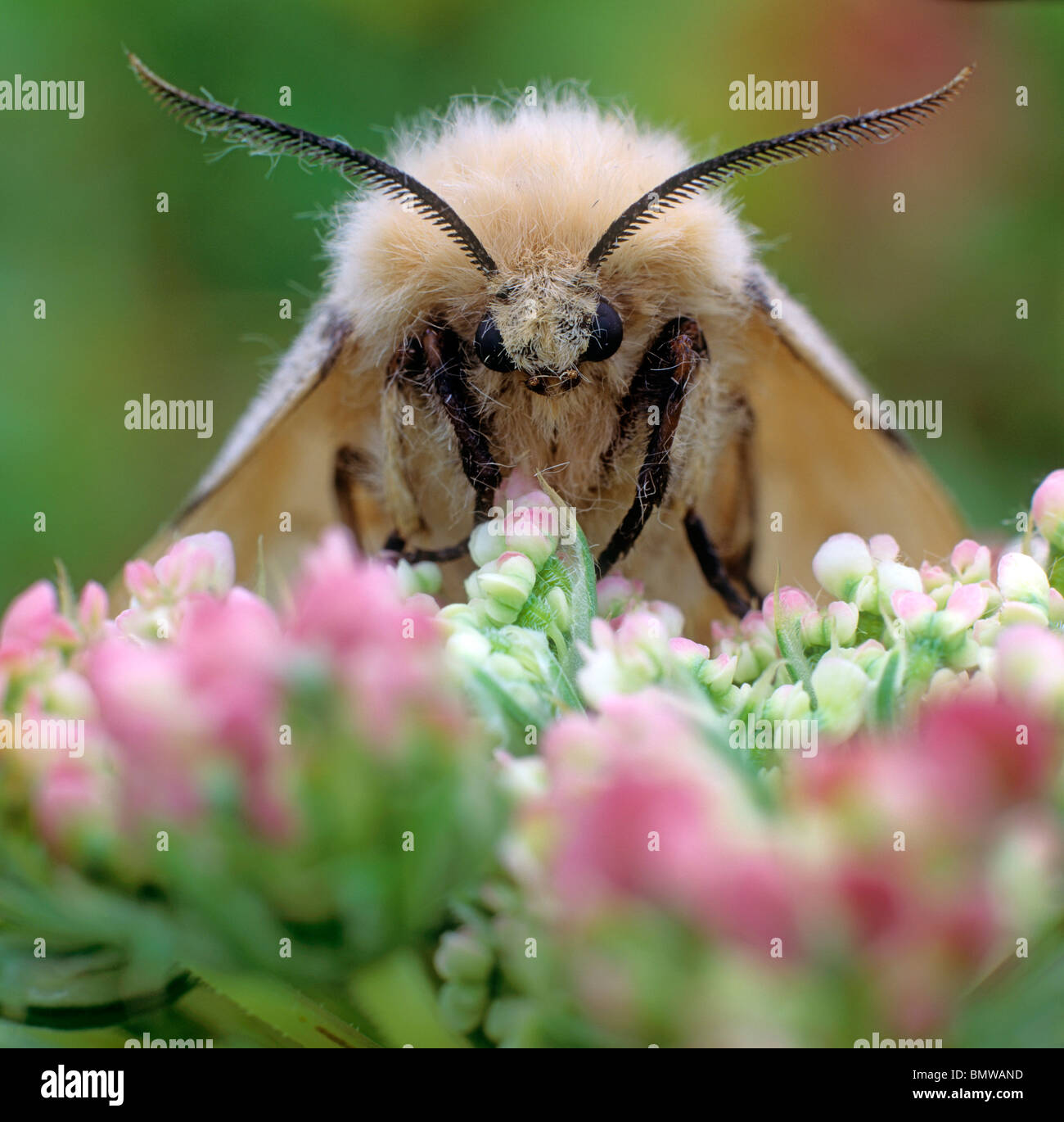 Gypsy Moth (Lymantria dispar), butterfly on pink flowers. - Stock Image