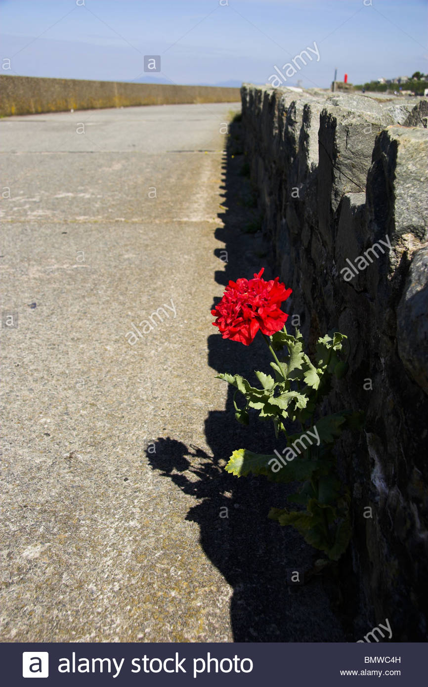 A red flower growing out of a stone wall/concrete promenade, Wales, UK. - Stock Image