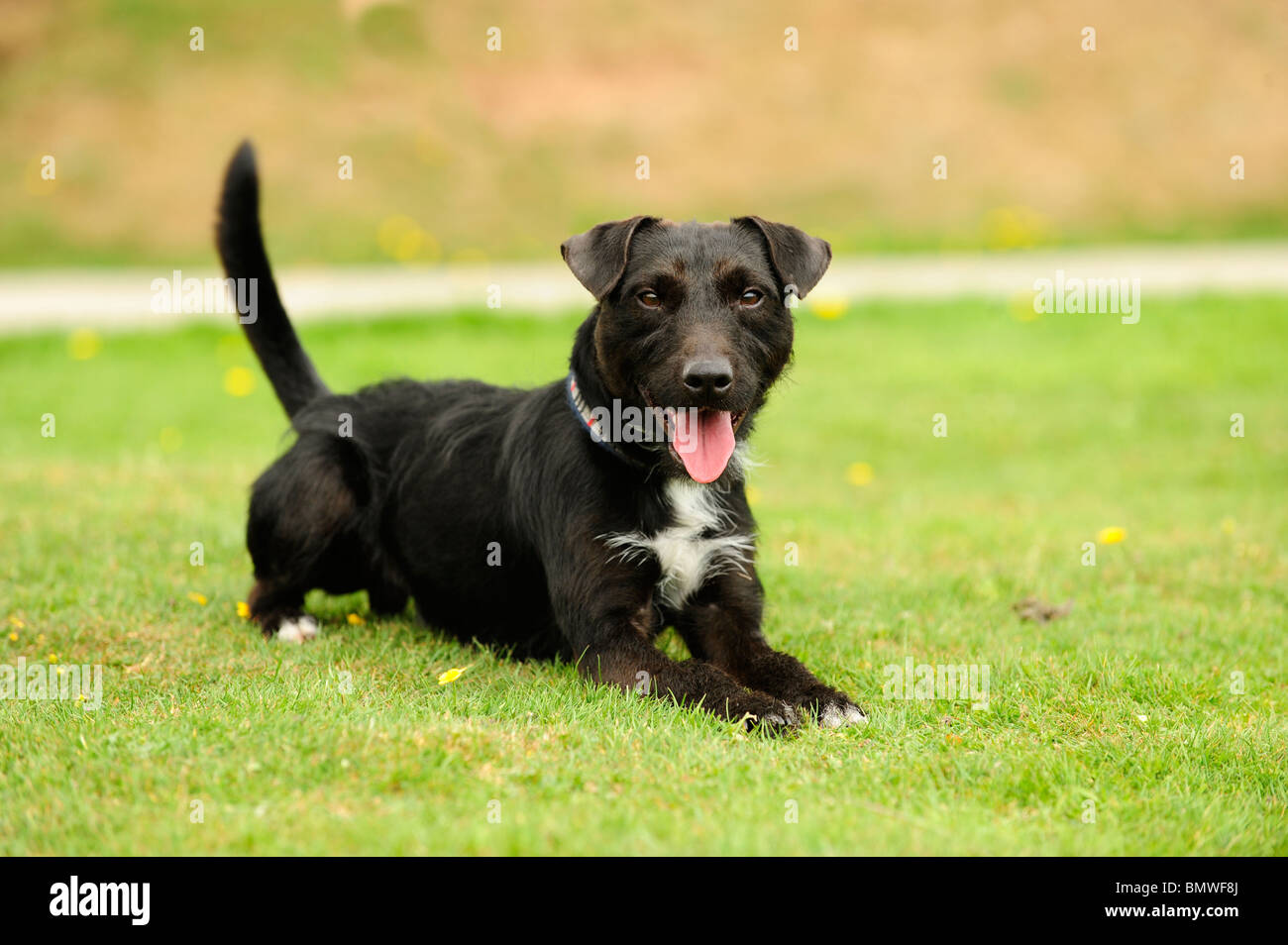 mongrel dog looking to camera - Stock Image