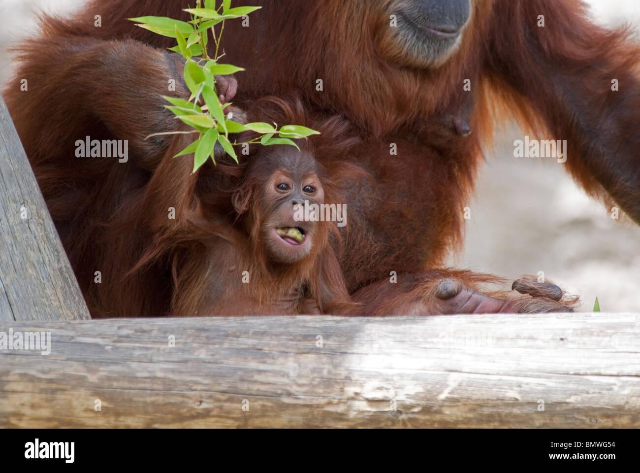 Sumatran Orangutan Pongo abelii Rio Grande Zoo Albuquerque New Mexico USA Stock Photo