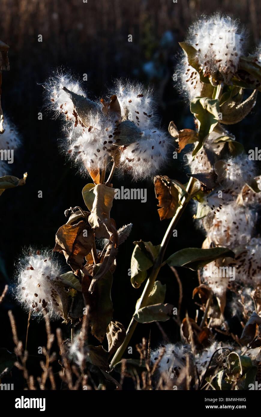 Showy Milkweed Asclepias speciosa plant gone to seed Monte Vista National Wildlife Refuge Colorado USA - Stock Image