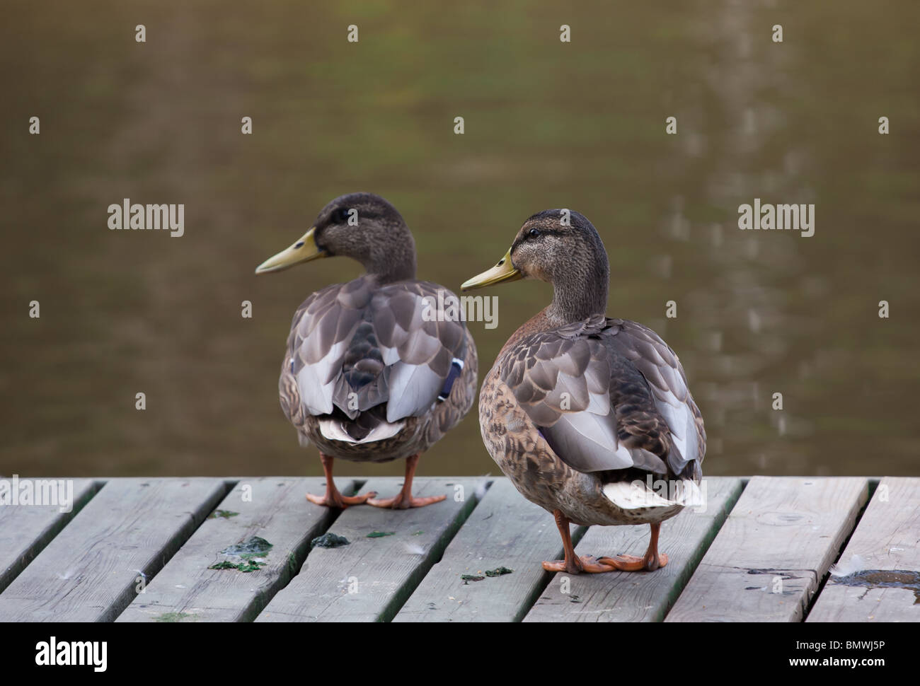 Mallard ducks, wild ducks behind the river Stock Photo