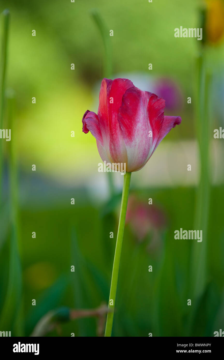 Flowering tulips in a variety of colors in a summery garden Stock Photo