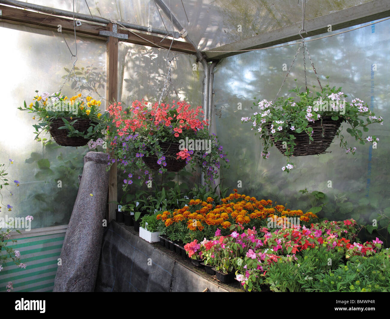 Hanging baskets and bedding flowers - Stock Image