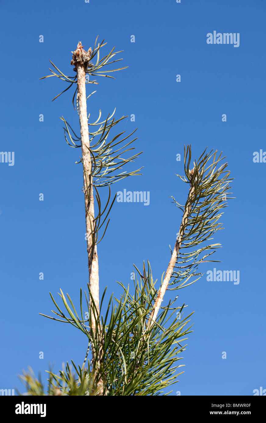 Pine ( pinus sylvestris ) sapling annual shoot's bark eaten away by a field vole ( Microtus agrestis ) - Stock Image