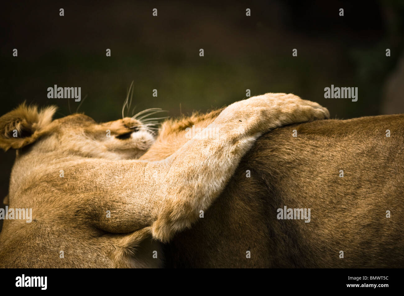 Asiatic Lions (Panthera leo persica) - two Asiatic lions, male and female, playing - July, Planckendael Zoo, Belgium, - Stock Image
