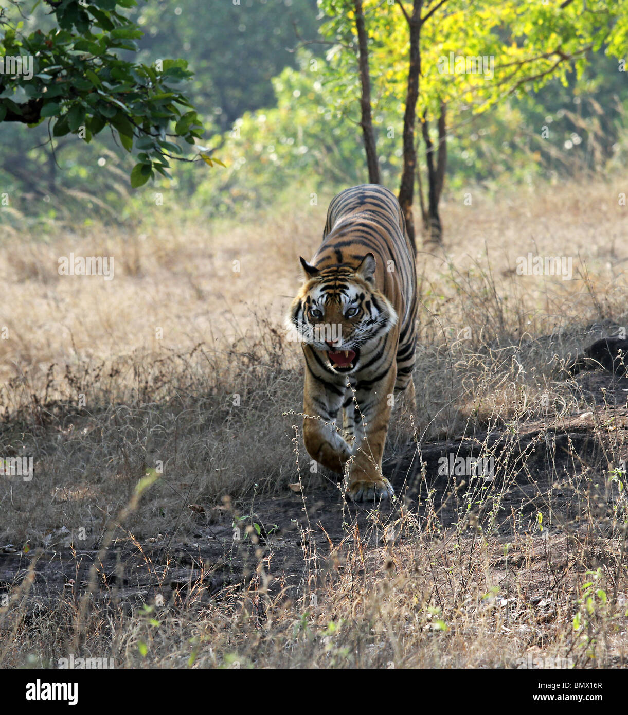 A Male Tiger comes down from a hill snarling in anger in Bandhavgarh National Park, India - Stock Image