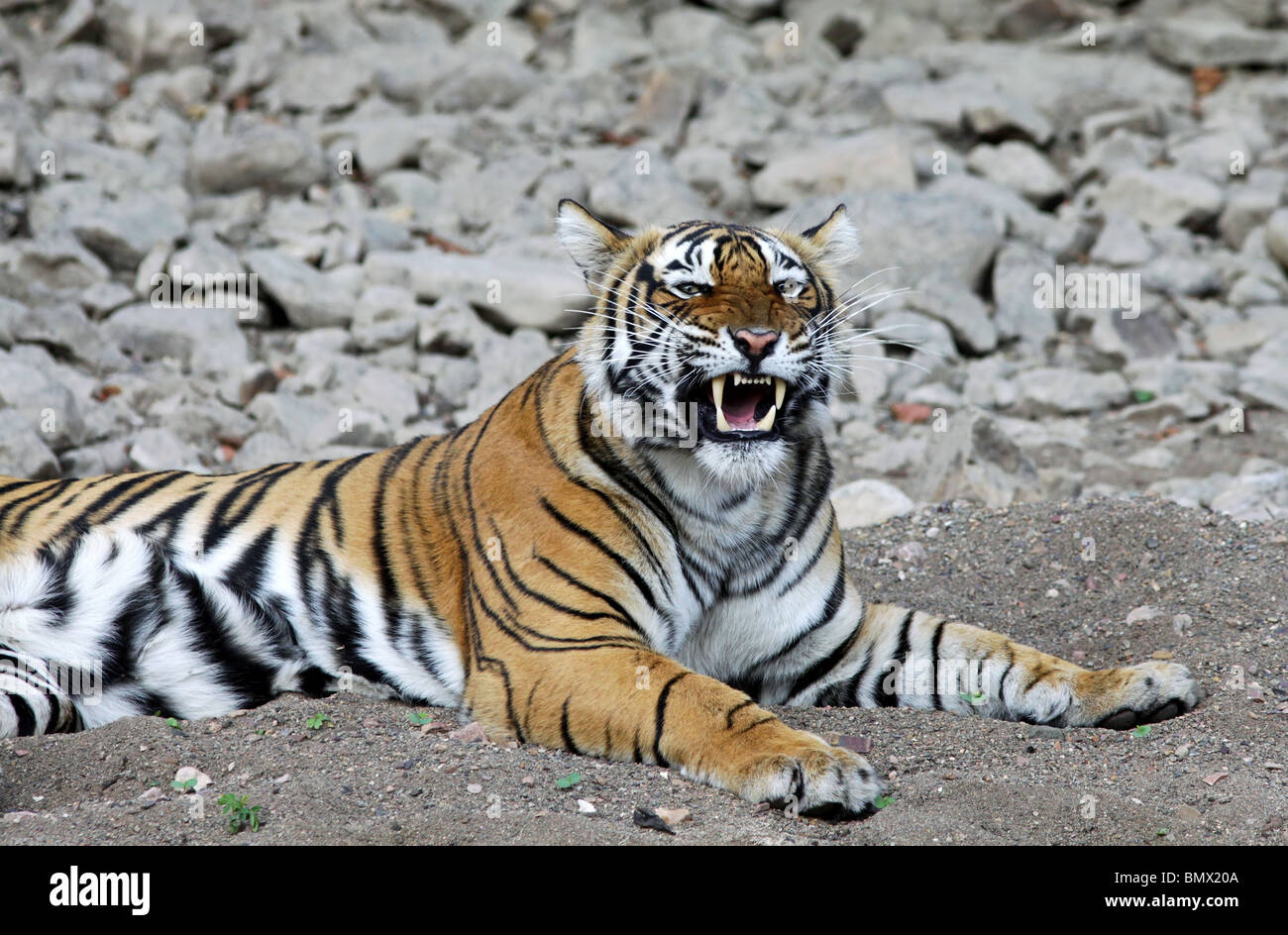 Tiger yawns and shows its canines in Ranthambhore National Park, India - Stock Image