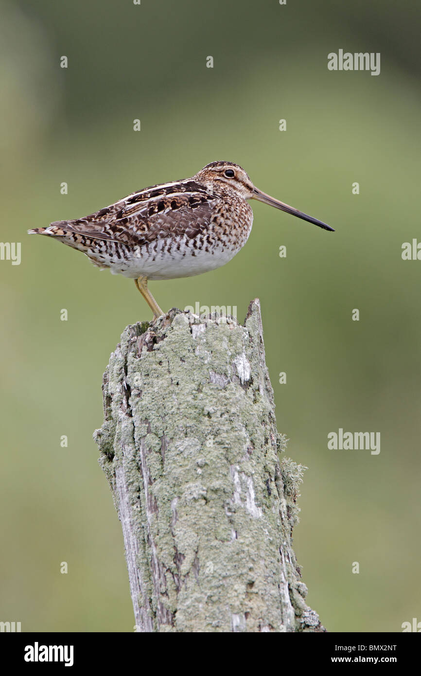 Wilson's or common Snipe on lichen covered fence post - Stock Image