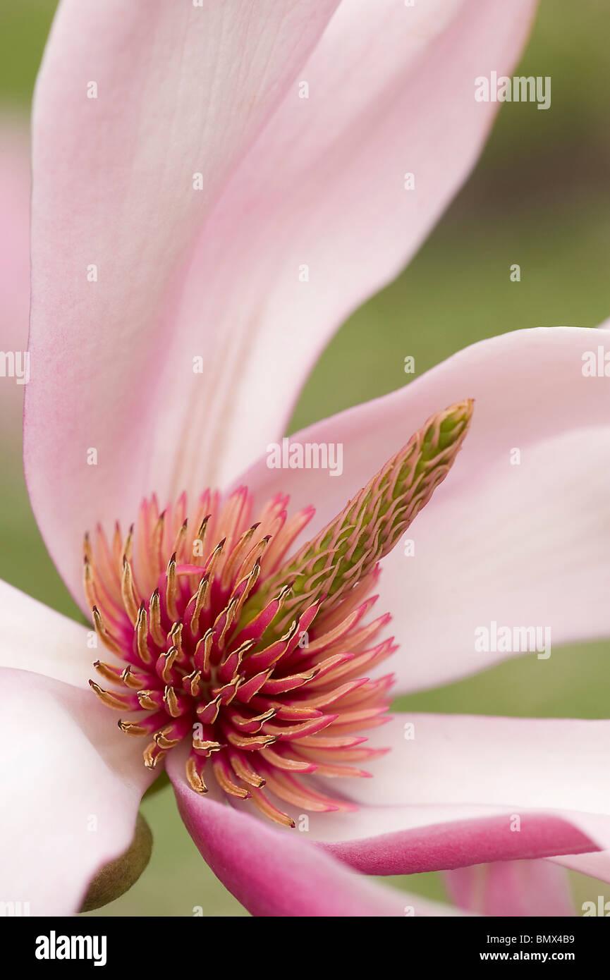 Floral parts of Magnolia sprengeri var diva flower - Stock Image
