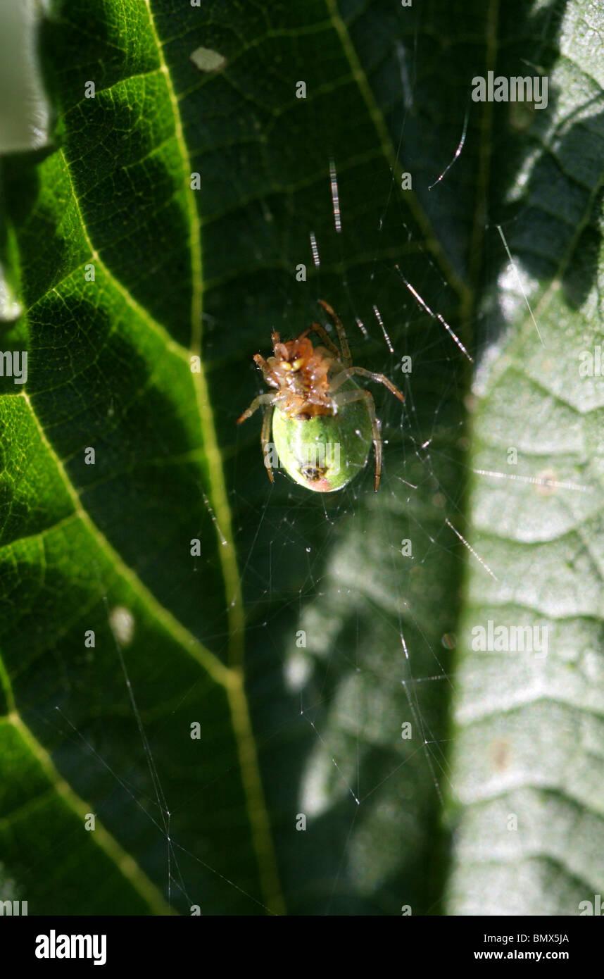 Cucumber Green Spider or Green Orb Weaver Spider, Araniella cucurbitina, Araneidae (Underside). Aka Gourd or Pumpkin - Stock Image