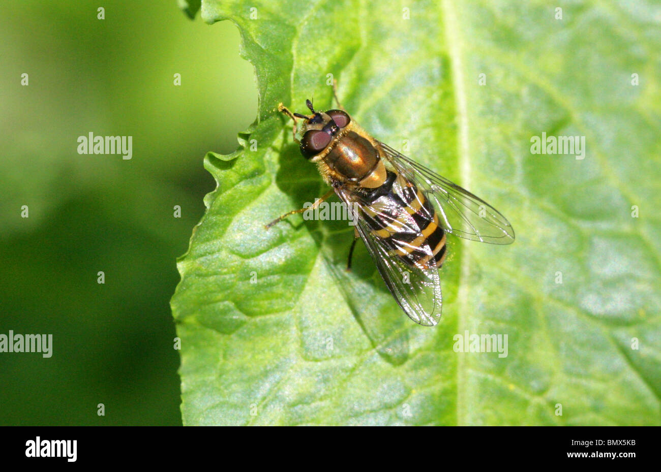 Currant Hover-fly, Syrphus ribesii, Syrphidae, Diptera. Female - Stock Image