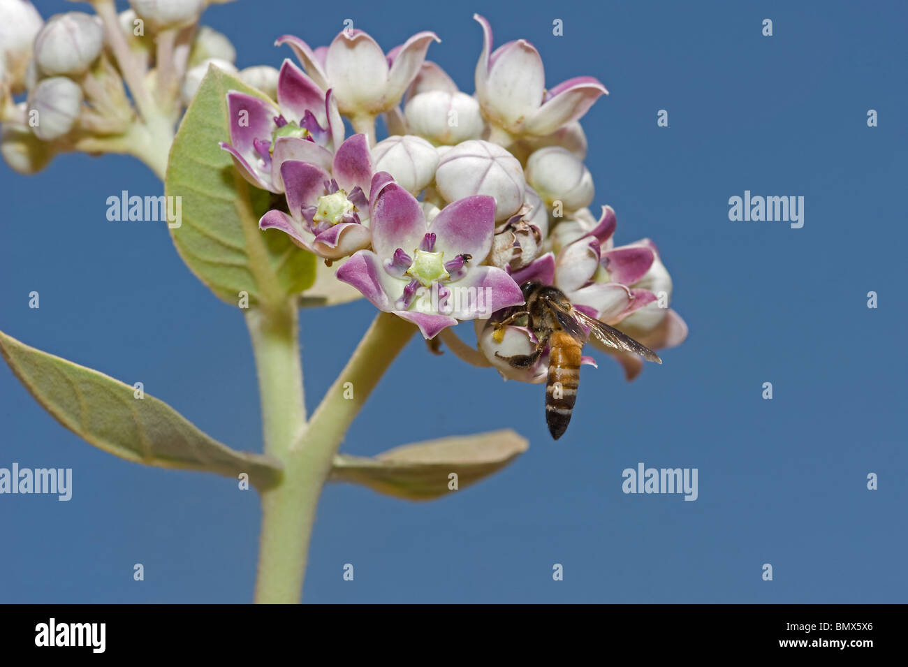 Hymenopteran feeding on giant milkweed or French cotton or apple of Sodom Calotropis procera Rathambore India - Stock Image