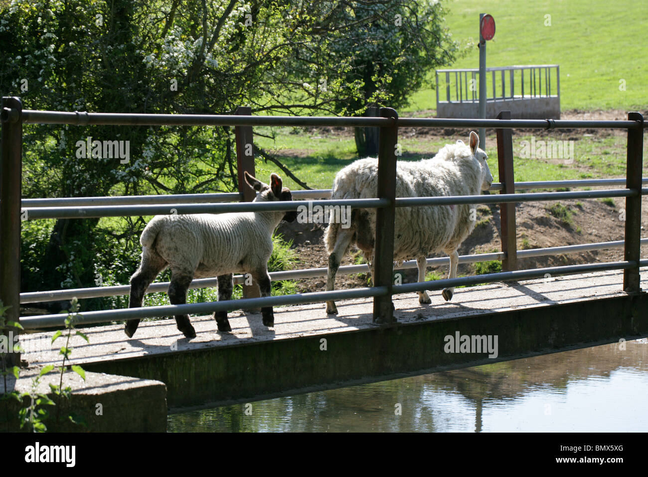 A Sheep with Her Lamb Crossing a River Bridge - Stock Image