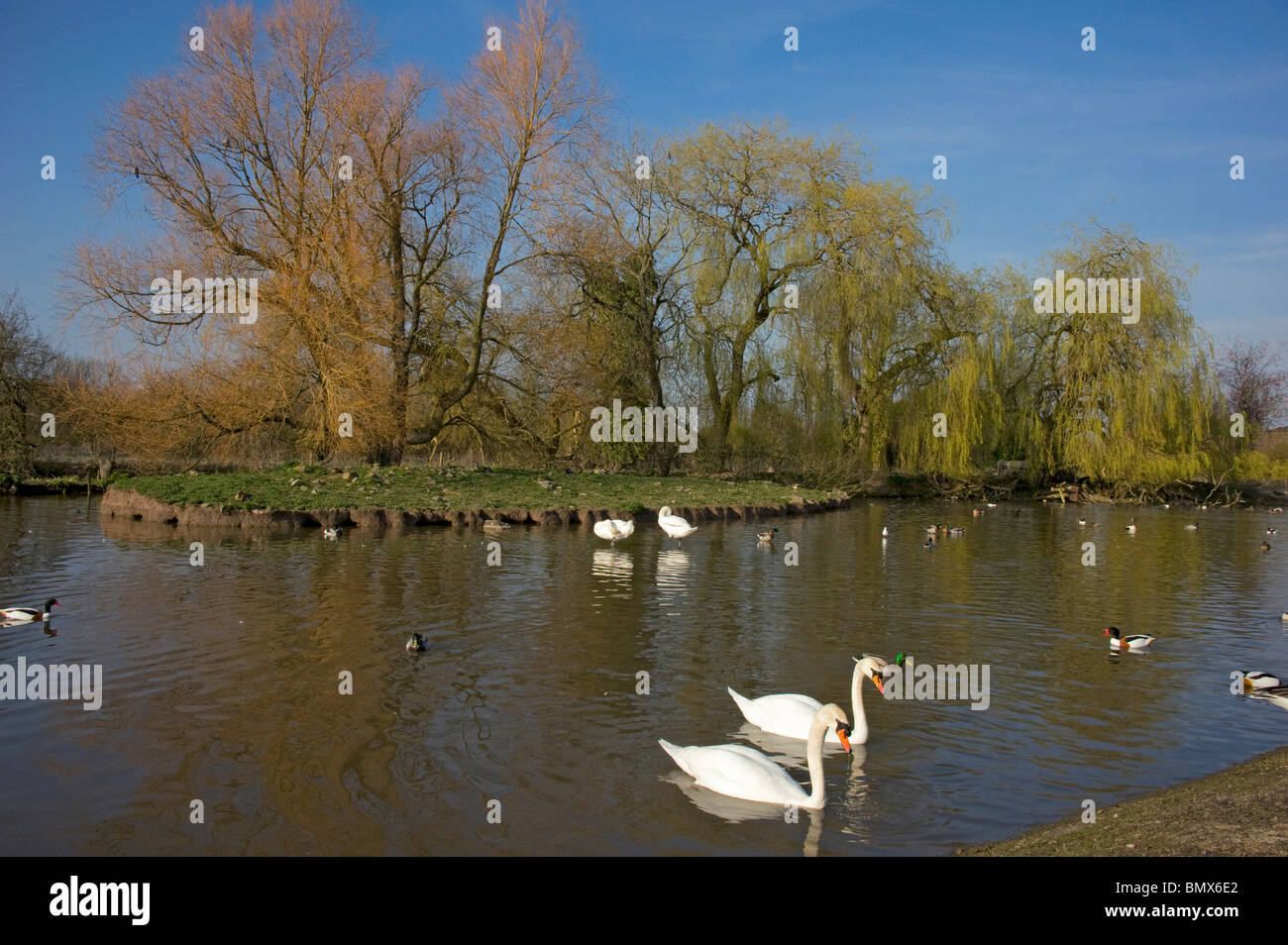 Slimbridge WWT in the spring wildfowl & willows leafing out - Stock Image