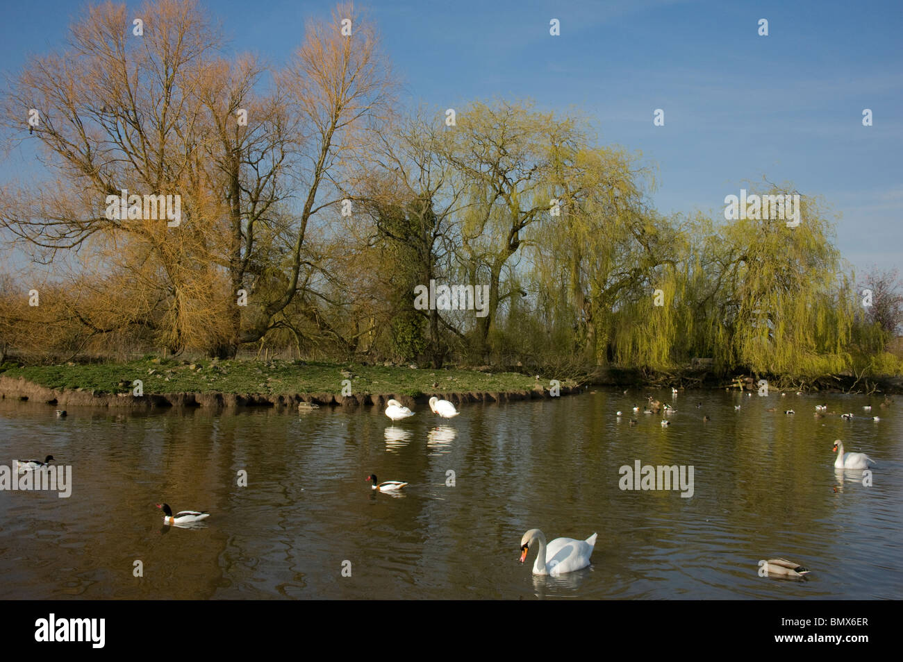 Slimbridge WWT in the spring wildfowl & willows leafing out Stock Photo