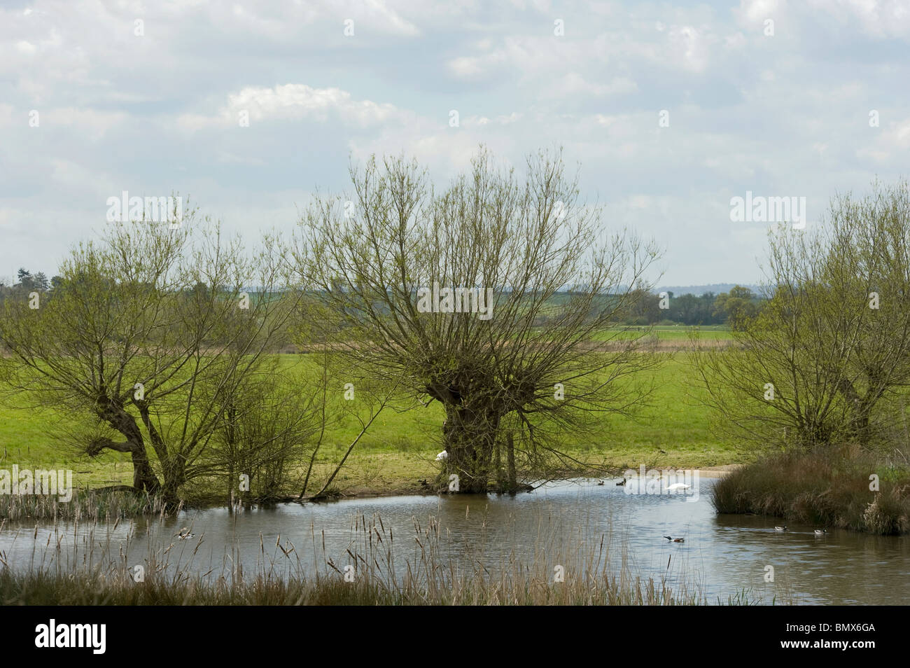 Pollarded crack willows leafing out in early spring at Slimbridge - Stock Image