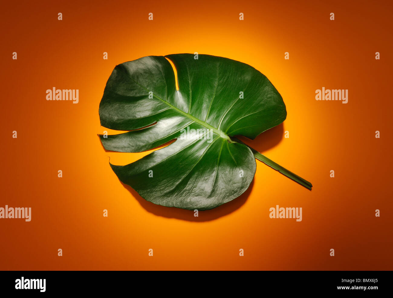 Tropical green plant leaf and stem, orange background - Stock Image