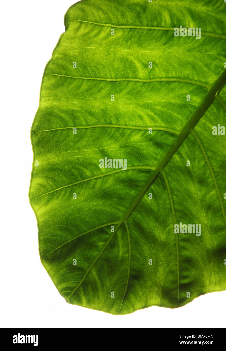 The end of a green plant leaf, white background - Stock Image