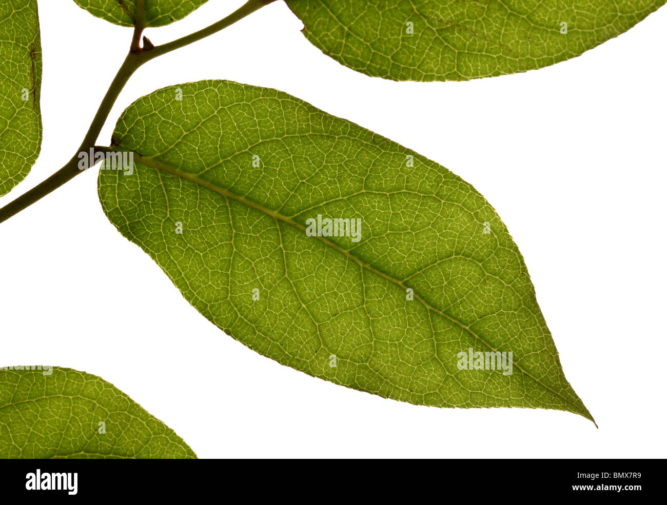 Green plant leaves on a branch, white background - Stock Image