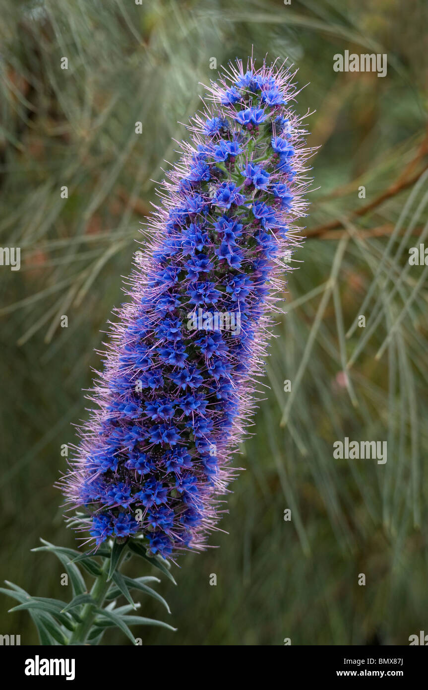 Pride of madeira echium candicans showing spiral arrangement of blue pride of madeira echium candicans showing spiral arrangement of blue flowers on tall spike mightylinksfo Image collections