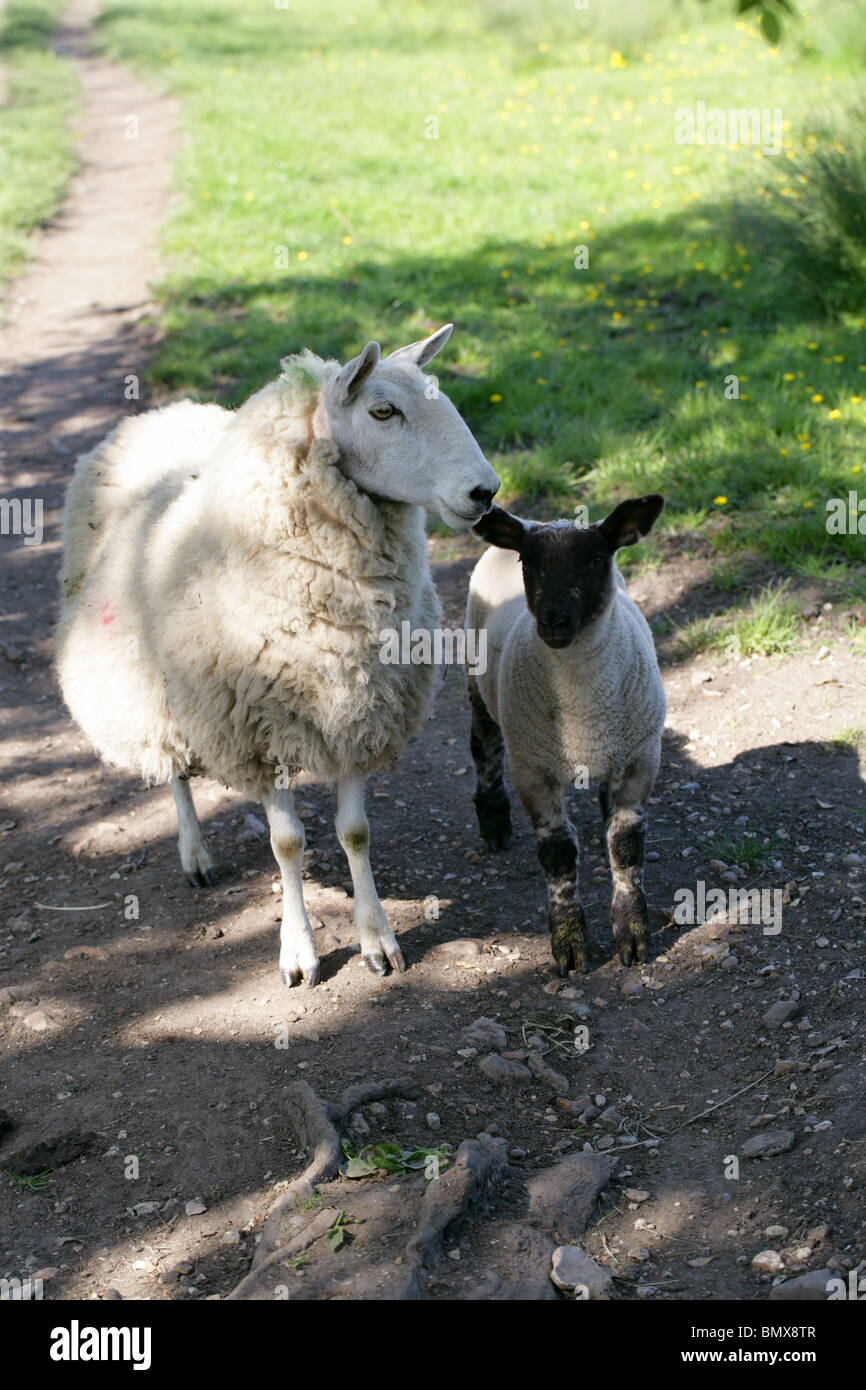 A Sheep with Her Lamb in the Shade of a Tree on a Hot Spring Day - Stock Image