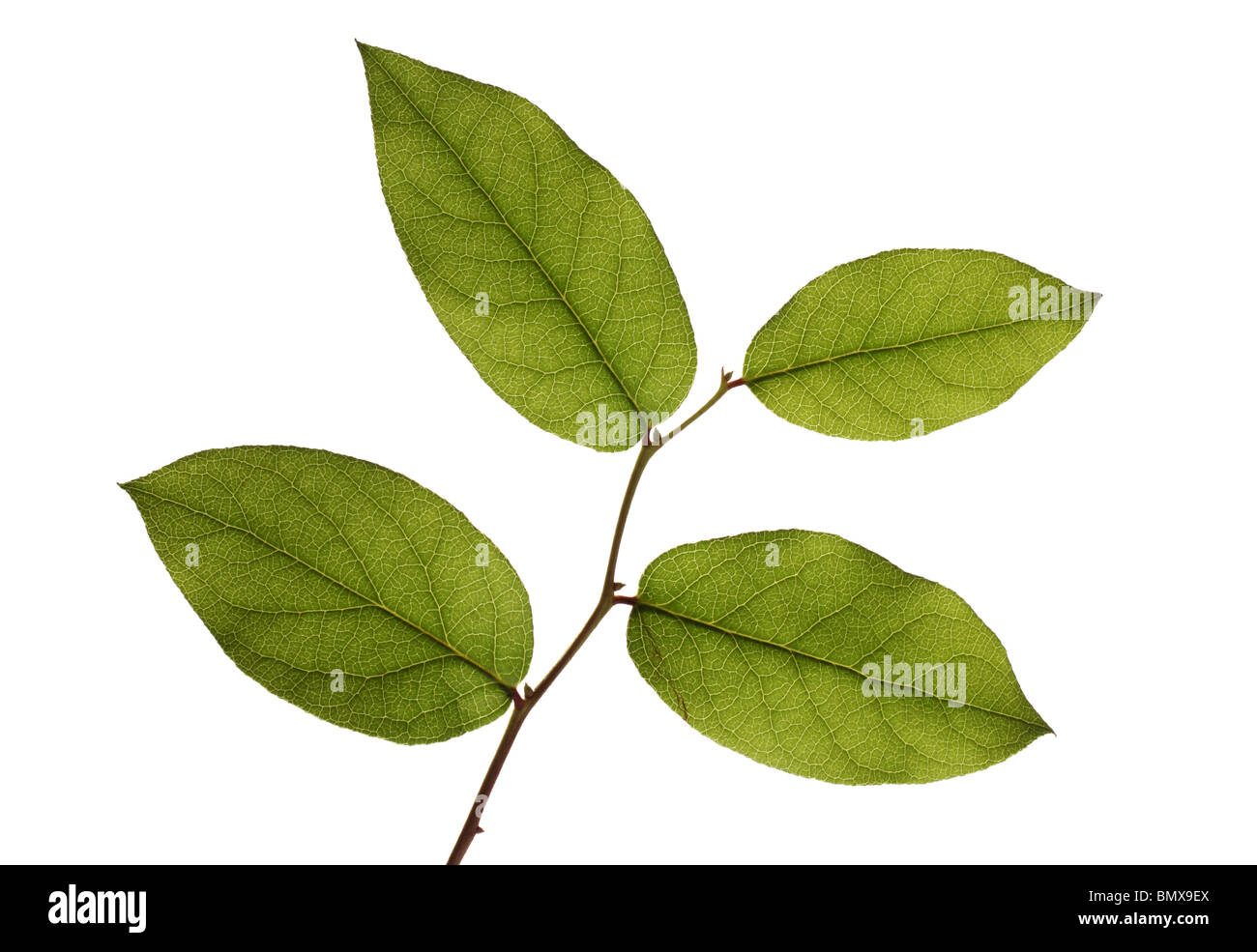 Four green plant leaves on a branch, white background - Stock Image