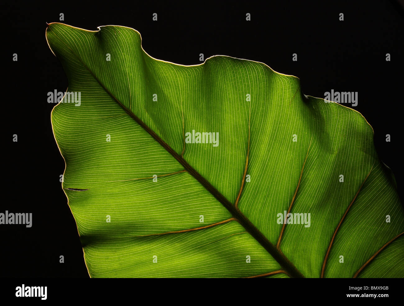 Green plant leaf with strong structure on a black background - Stock Image