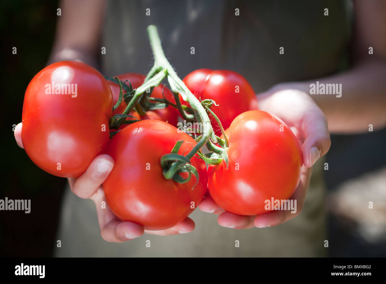 Child holds organic home grown tomatoes - Stock Image