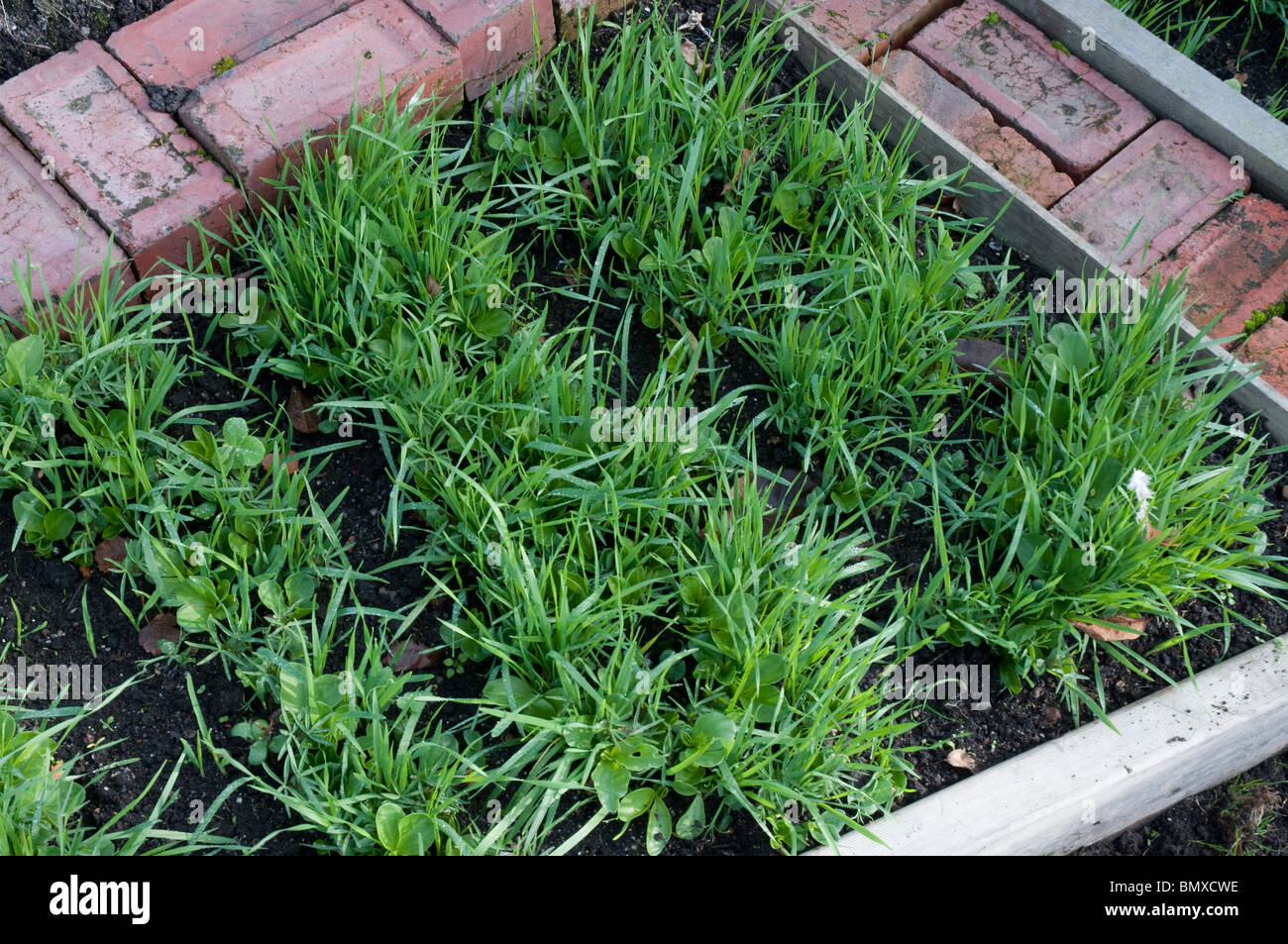 Green manure sown in garden bed during winter Stock Photo
