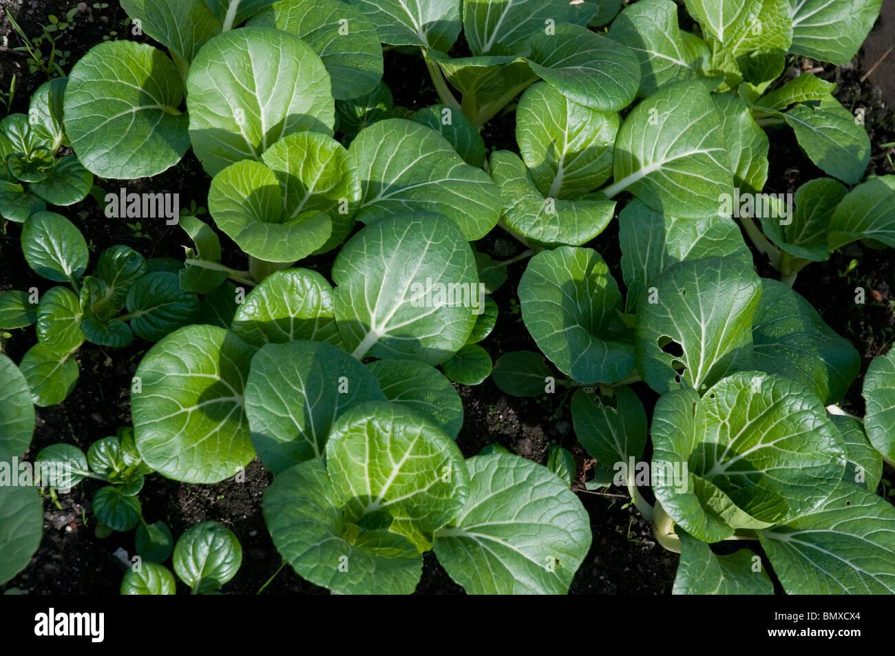 White stem Bok choy scientific name Brassica rapa Chinensis - Stock Image