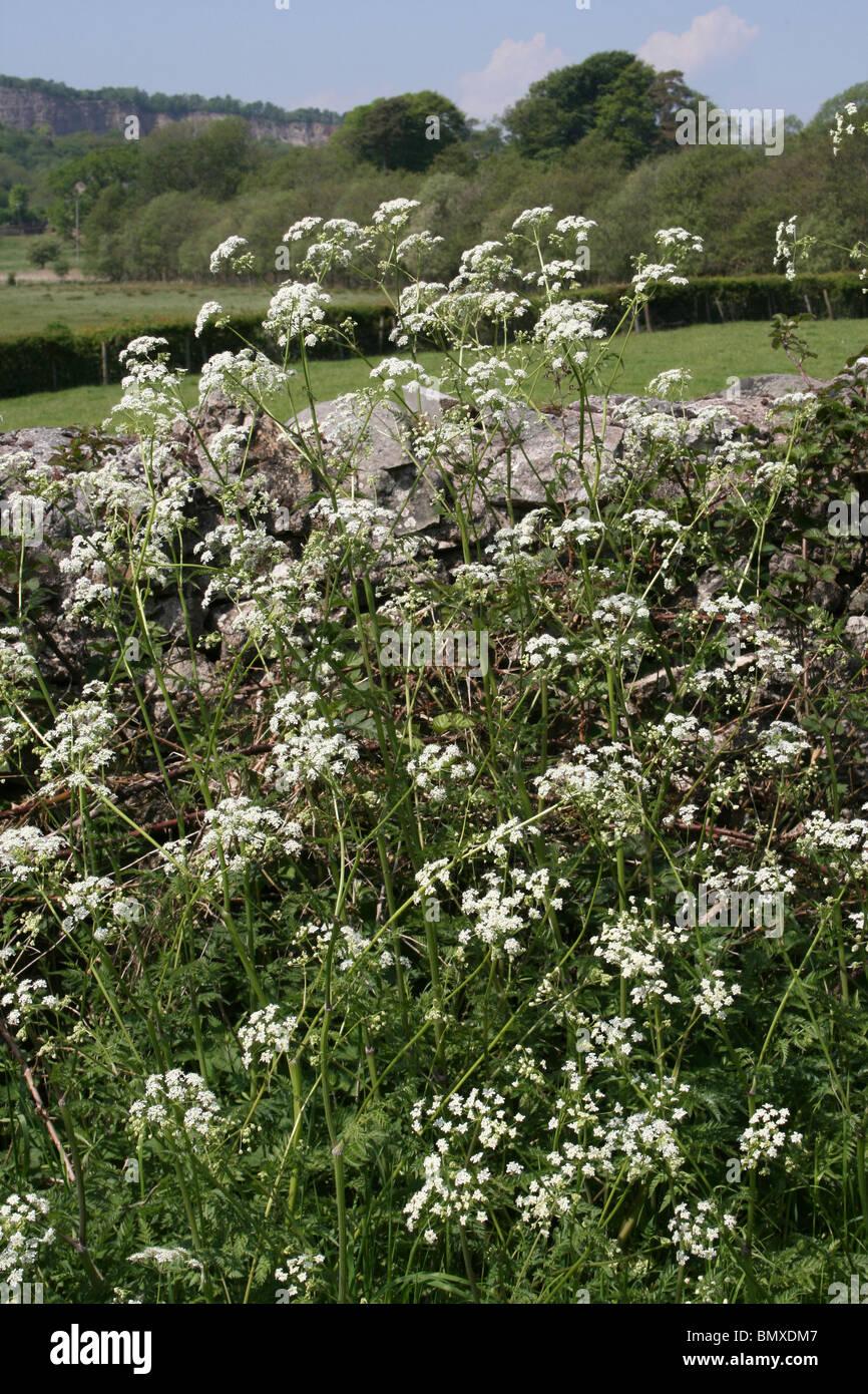 Umbellifers Growing On A Countryside Verge Taken Near Silverdale, Lancashire, UK - Stock Image