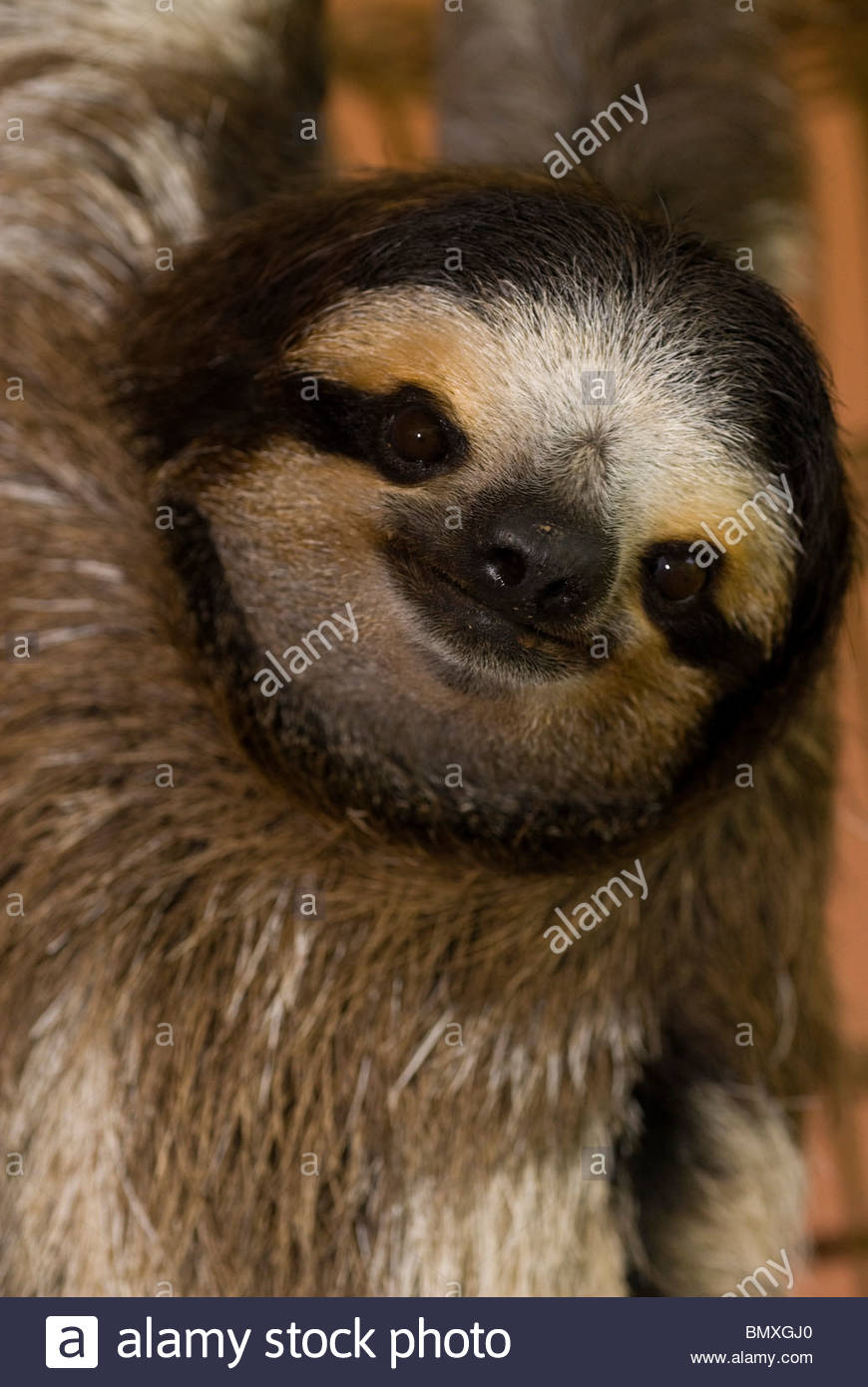Three-toed sloth portrait - Cahuita Stock Photo