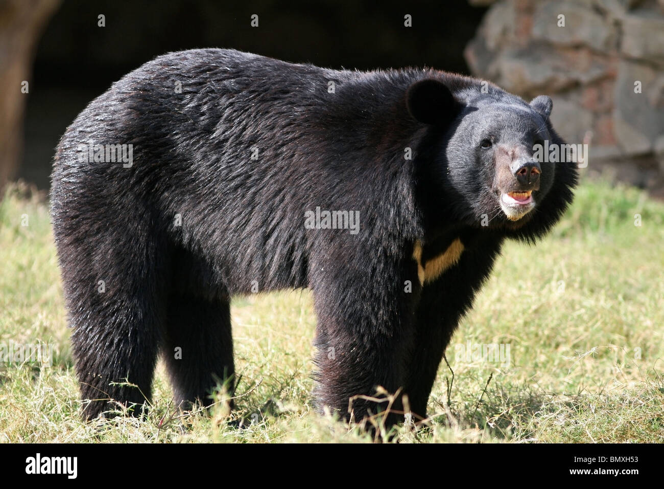 Asiatic Black Bear standing in its enclosure. Picture taken in New Delhi Zoo, India - Stock Image