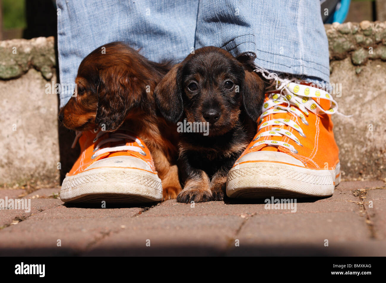 Long-haired Dachshund, long-haired sausage dog, domestic dog (Canis lupus f. familiaris), two 6 weeks old miniature - Stock Image