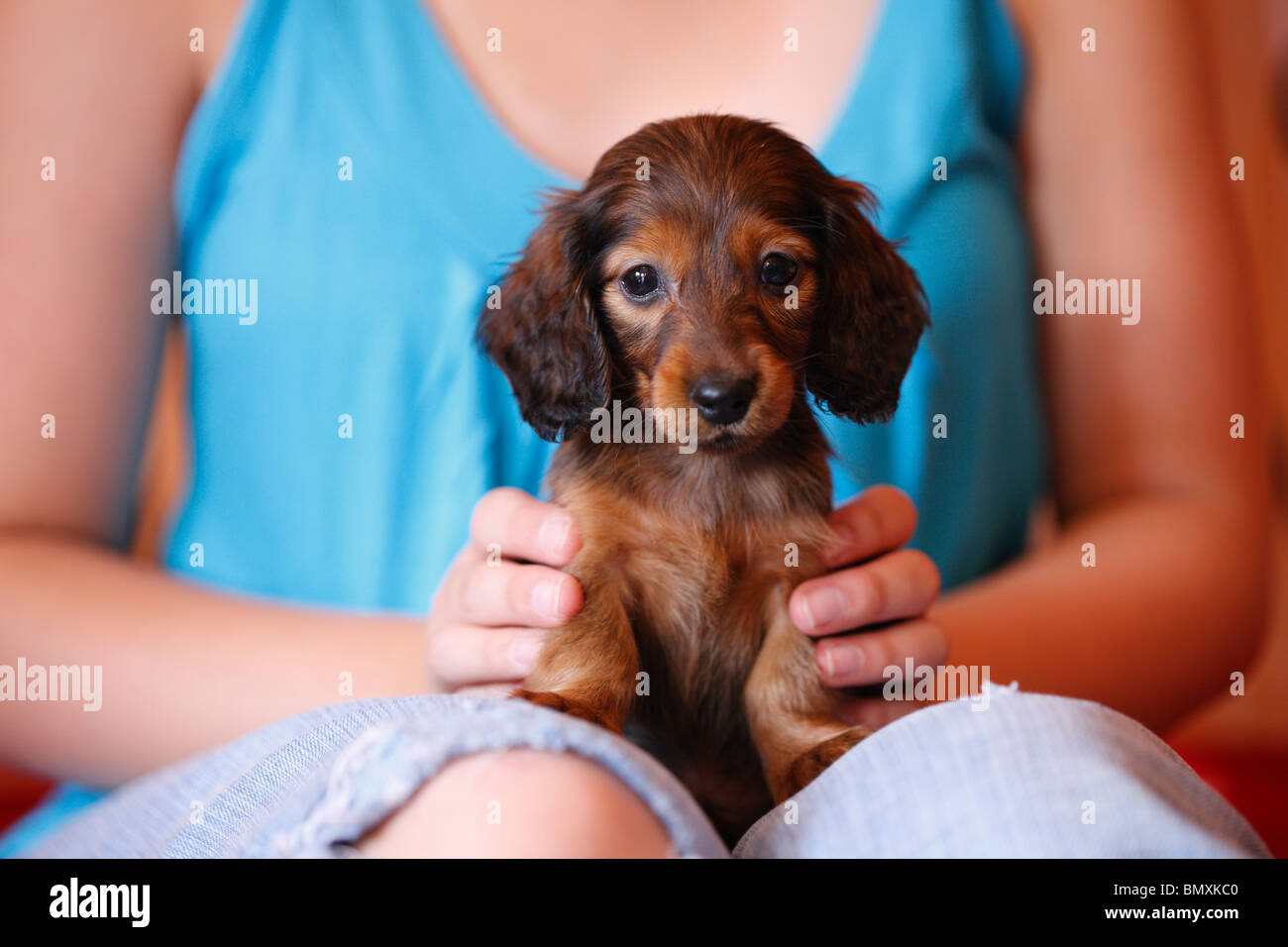 Miniature Dachshund Sausage Dog Puppy Stock Photos & Miniature ...