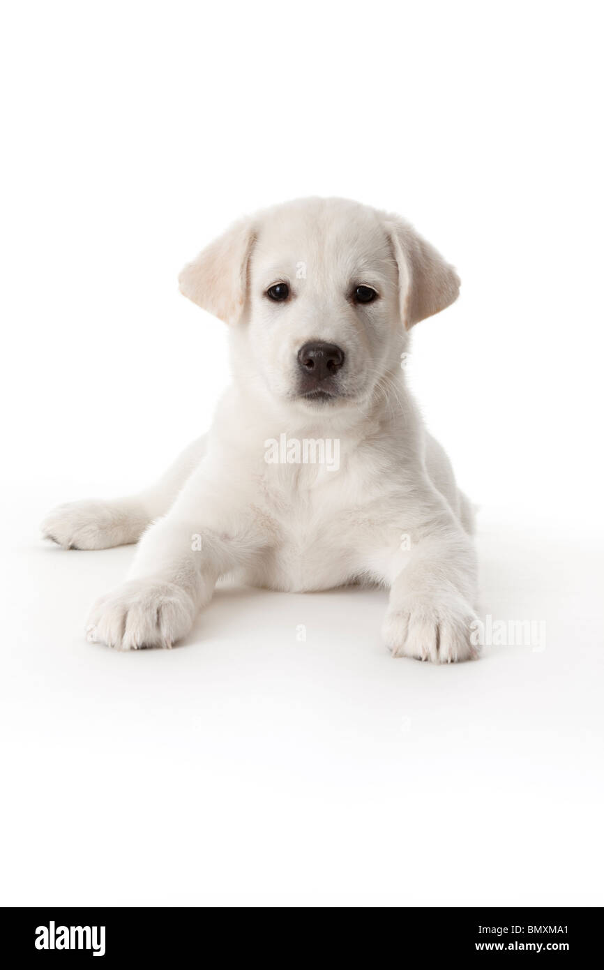 Cute white puppy on white background Stock Photo