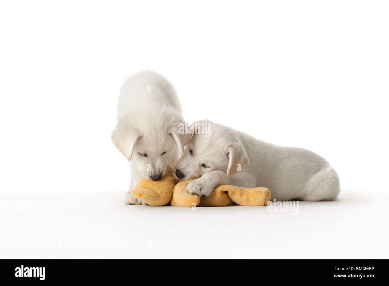 Two cute white puppies playing with a toy on white background - Stock Image