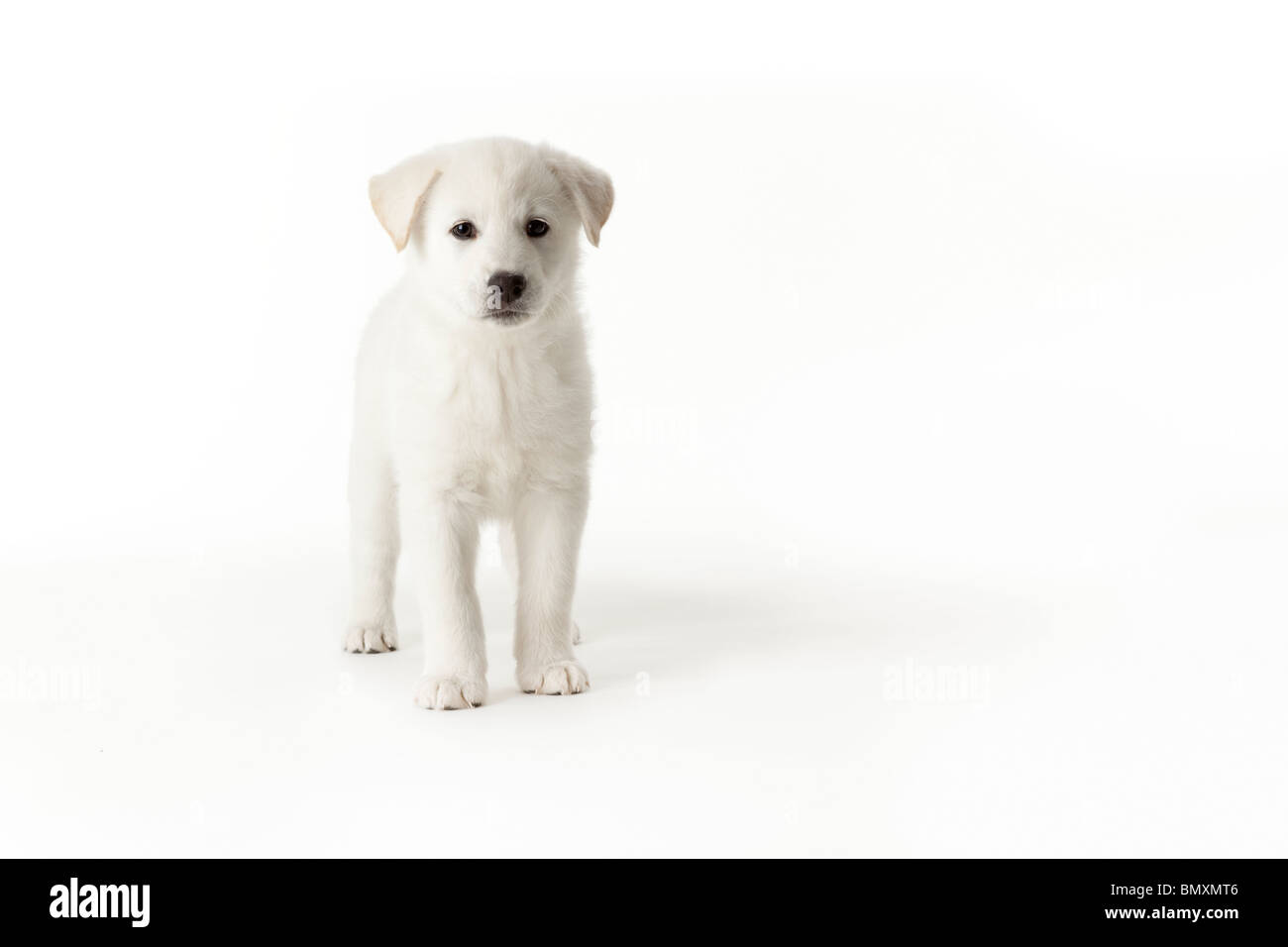 Cute white puppy standing on white background Stock Photo