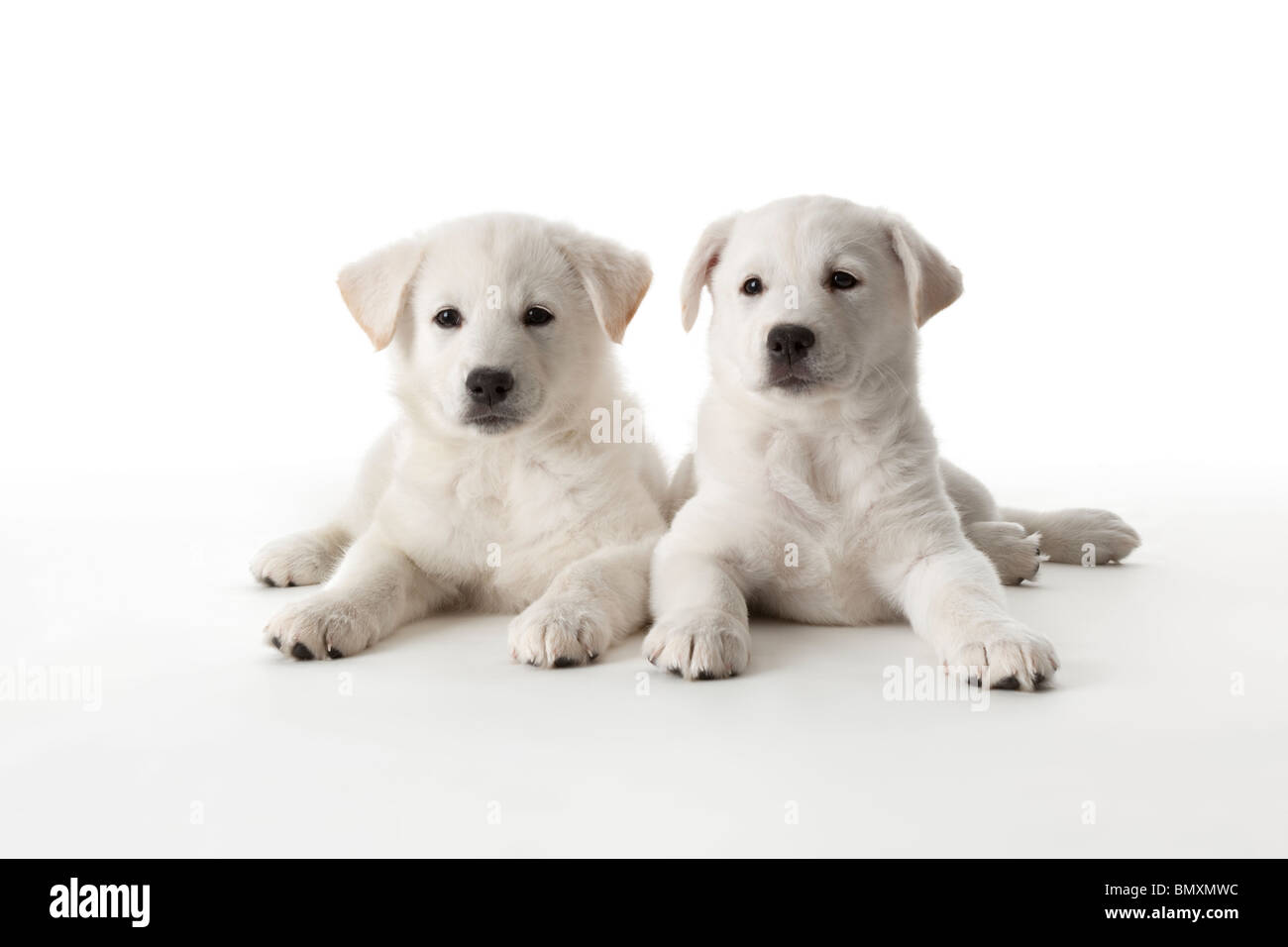 Two Cute White Puppies On White Background Stock Photo