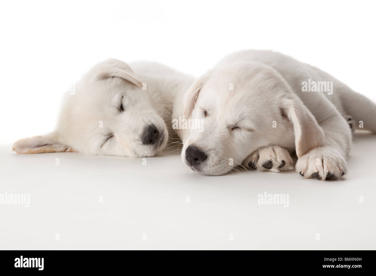 Two cute white puppies sleeping on white background - Stock Image