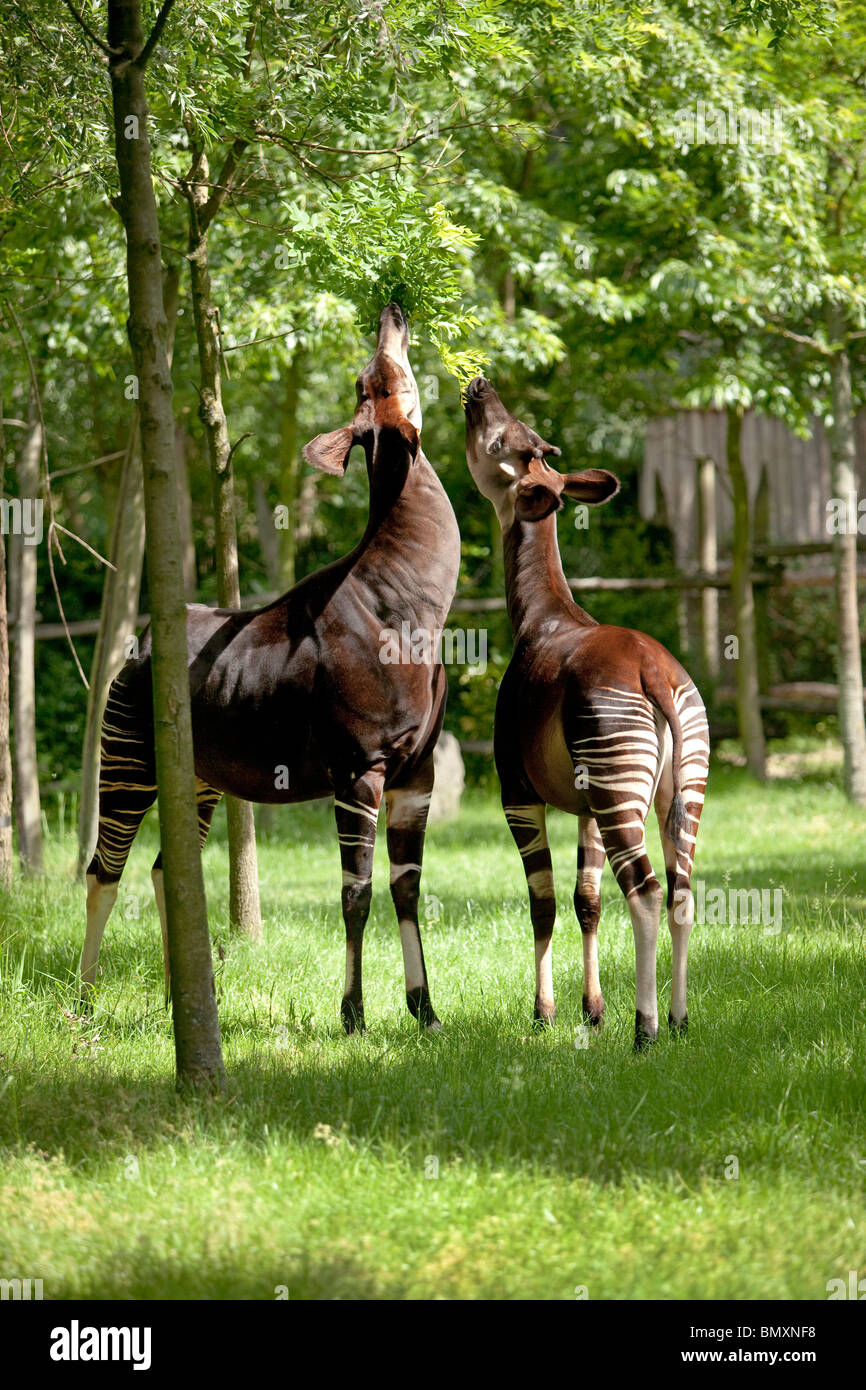 Two okapi eating leaves from a tree - Stock Image